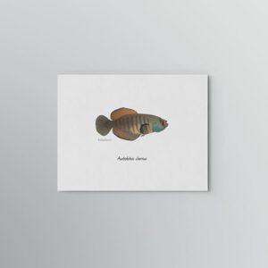 Lámina Killi Austrolebias charrua