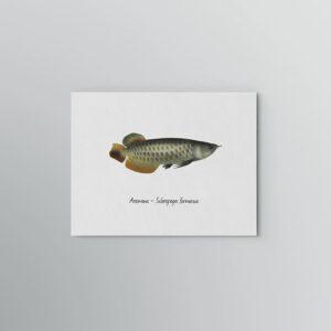 Lámina Arowana - Scleropages formosus 1