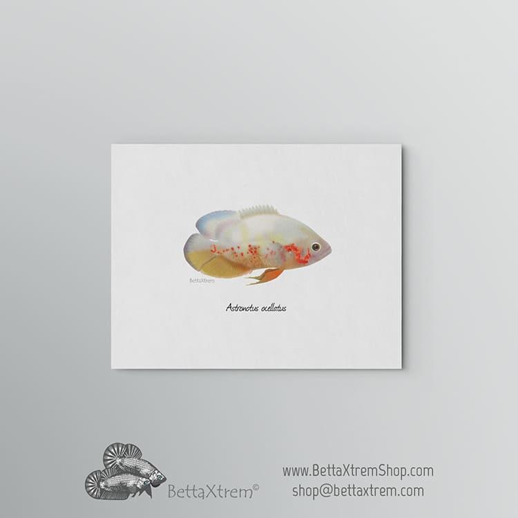 Lámina Astronotus ocellatus albino 2
