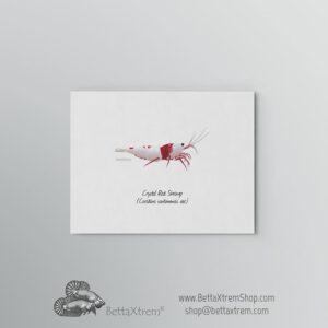 Lámina Gamba Crystal Red Shrimp